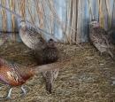 Oua fazani incubare 2017