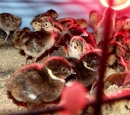 Puisori de fazani 1 saptamana