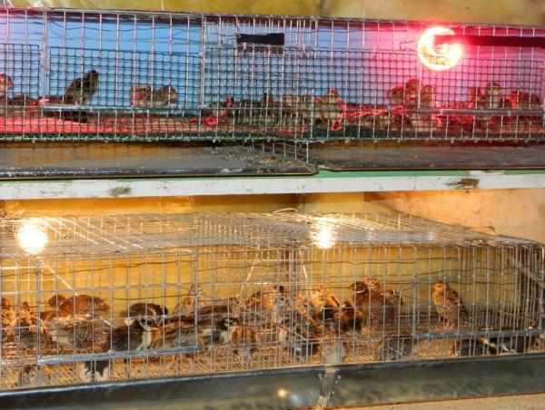 Cusca tineret fazani